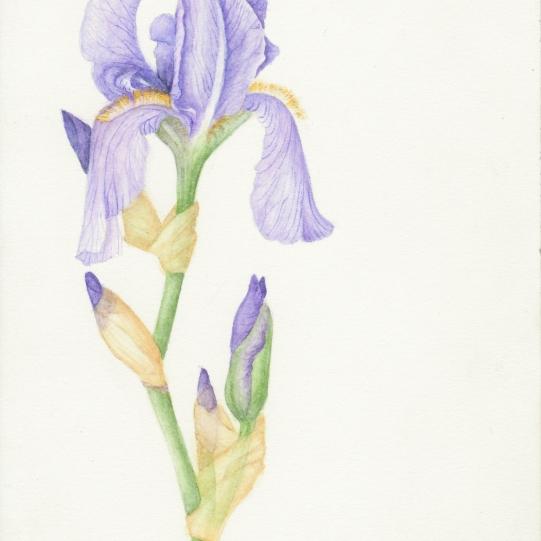 Iris in Watercolor