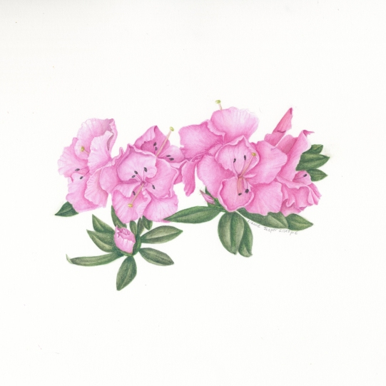 Remembrance Azalea in Watercolor