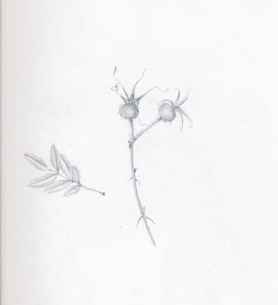Rose Hips 2 in Graphite