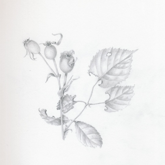 Rose Hips 1 in Graphite