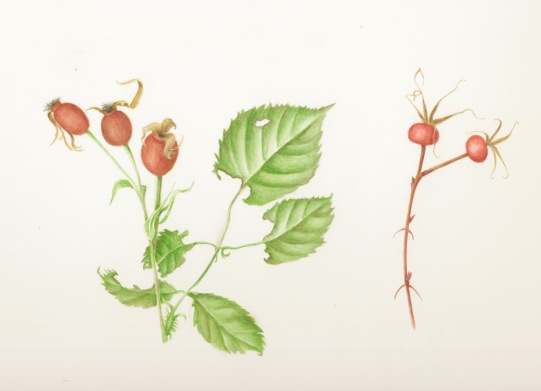 Rose Hips in Watercolor