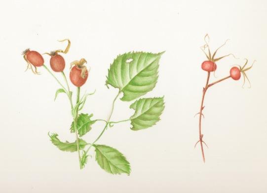 Rose Hips in Watercolor