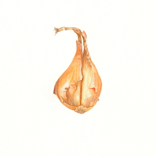 Shallot in Watercolor