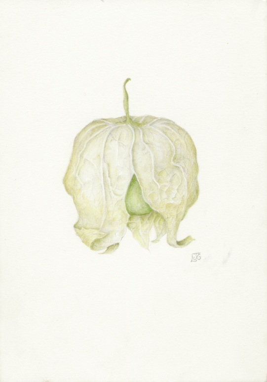 Tomatillo in Watercolor