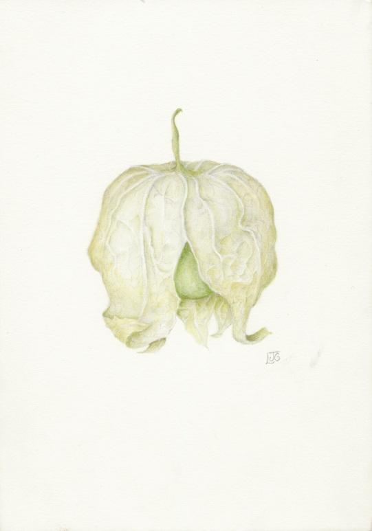 Tomatillo in Watercolor