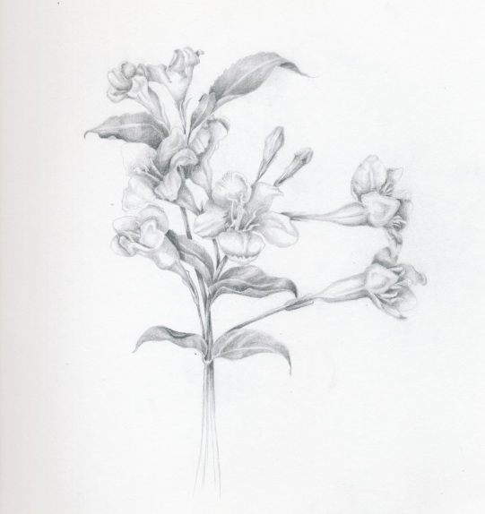 Wygelia in Graphite